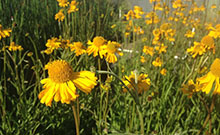 ca native wetland plants